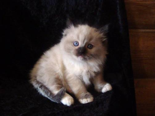 LIL DARLING RAGDOLLS IOWA - Info/Prices
